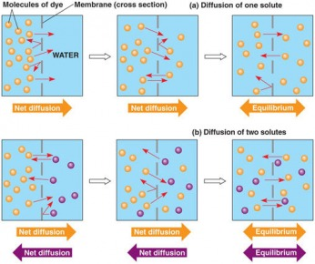 relationship between diffusion osmosis and entropy